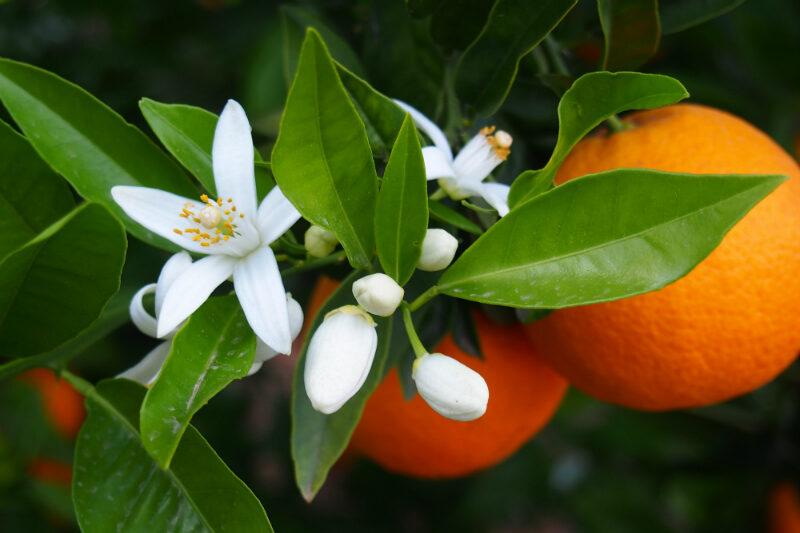 Orangenreiniger